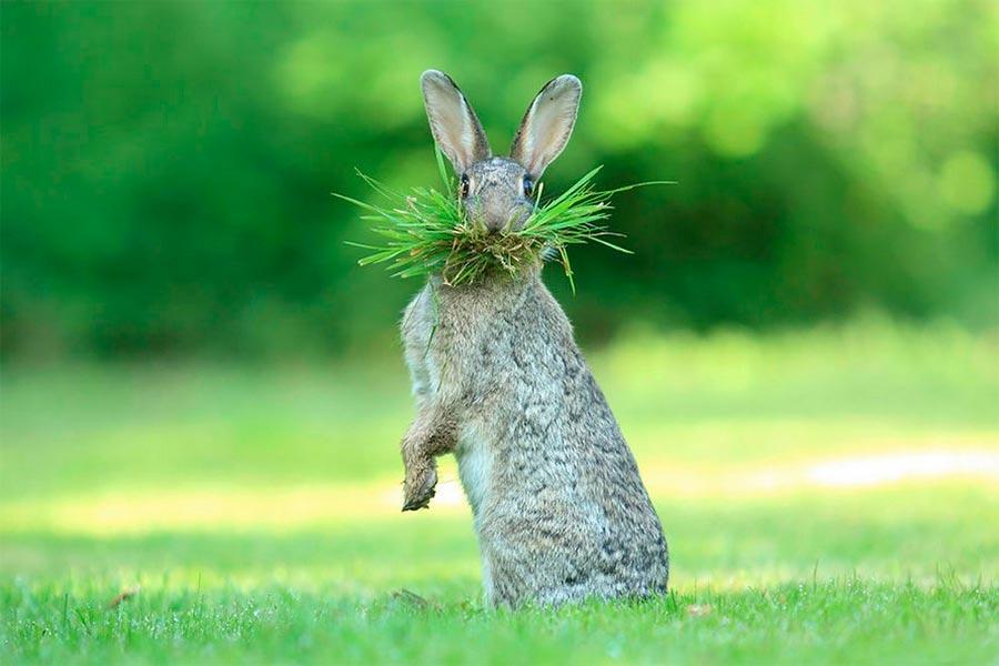 Comedy Wildlife Photography Awards 2017 Дикий кролик Фландрия Бельгия Оливье Колле wild rabbit Flanders Belgium Olivier Colle