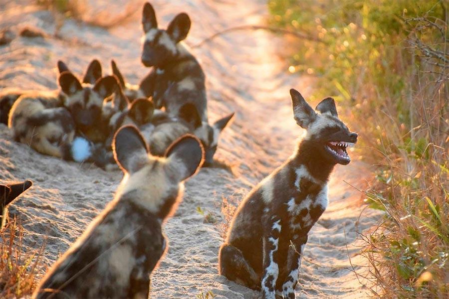 Comedy Wildlife Photography Awards 2017 африканские дикие (гиеновидные) собаки Парк слонов Тембе Южная Африка Тина Стер african wild dogs elephant park South Africa Tina Ster