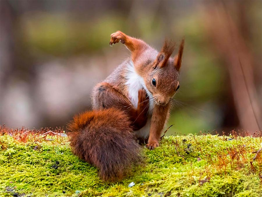 Comedy Wildlife Photography Awards 2017 белка Гётеборг Швеция Джонни Каапа squirrel Gothenburg Sweden Johnny Kaap