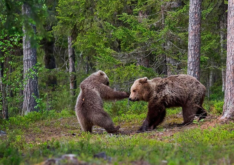 Comedy Wildlife Photography Awards 2017 медведица с медвежонком коммуна Суомуссалми Финляндия Ханнеле Кайхола bear minicipality of Suomussalmi Finland Hannele Keyhole