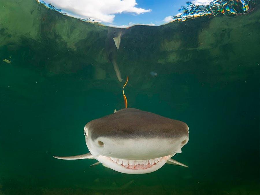 Comedy Wildlife Photography Awards 2017 детёныш лимонной акулы остров Бимини Багамы Южин Китсиош a baby lemon shark the island of Bimini Bahams Ugine Kitsios