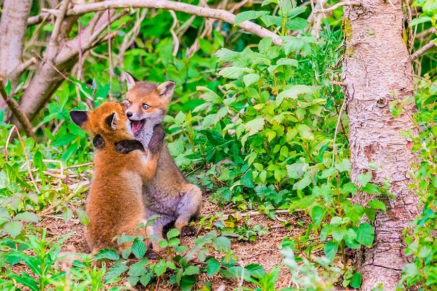 Comedy Wildlife Photography Awards 2017 Лисята графство Мит Ирландия Джон Шеридан foxes country Meath Ireland John Sheridan