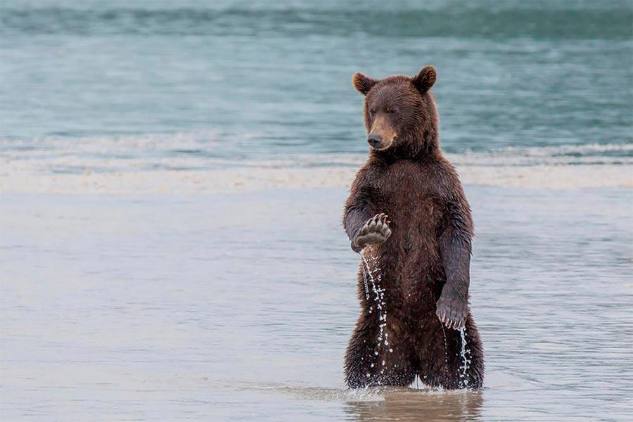 Comedy Wildlife Photography Awards 2017 камчатский бурый медведь Камчатка Россия Денис Будков kamchatka brown bear Kamchatka Russia Denis Budkov