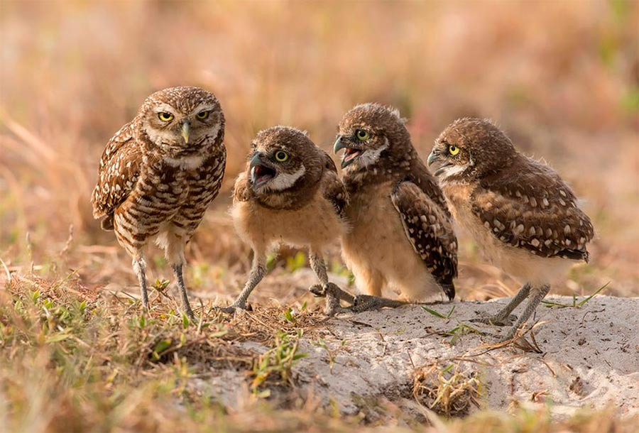 Comedy Wildlife Photography Awards 2017 сова с птенцами Флорида Барб Д'Арпино owl with chicks FL Barb D'arpino