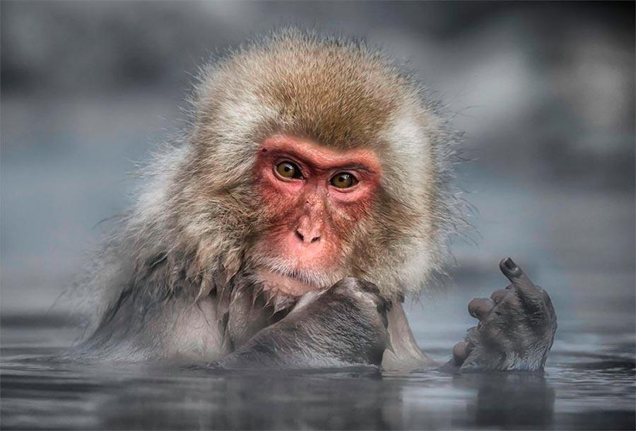 Comedy Wildlife Photography Awards 2017 японский макак (или снежная обезьяна) парк Джигокудани Накано Япония Линда Оливер