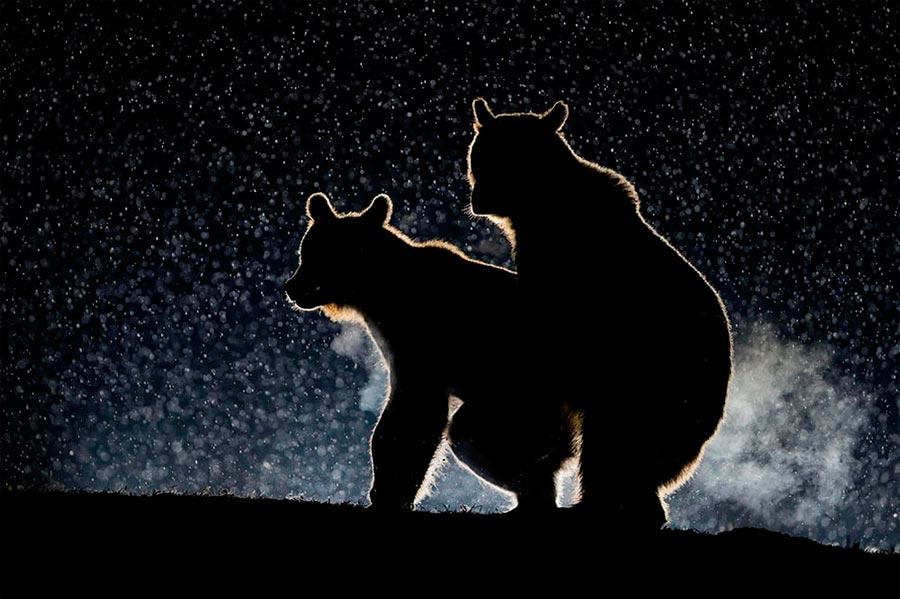 Comedy Wildlife Photography Awards 2017 Бурые медведи на свидании Бенс Мате