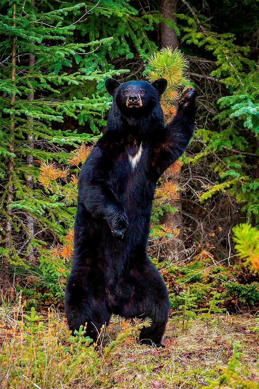 Comedy Wildlife Photography Awards 2017 Барибал (или чёрный медведь) Национальный парк Джаспер Альберта Канада Крис Мартин