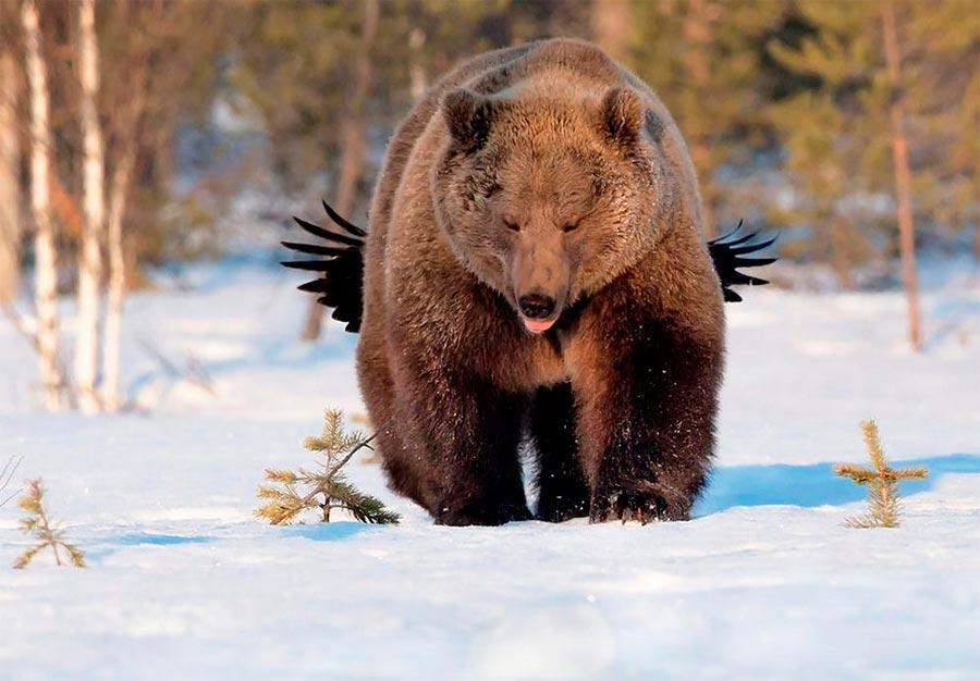 Comedy Wildlife Photography Awards 2017 Ворон поддразнивает медведя Финляндия Эза Рингбом