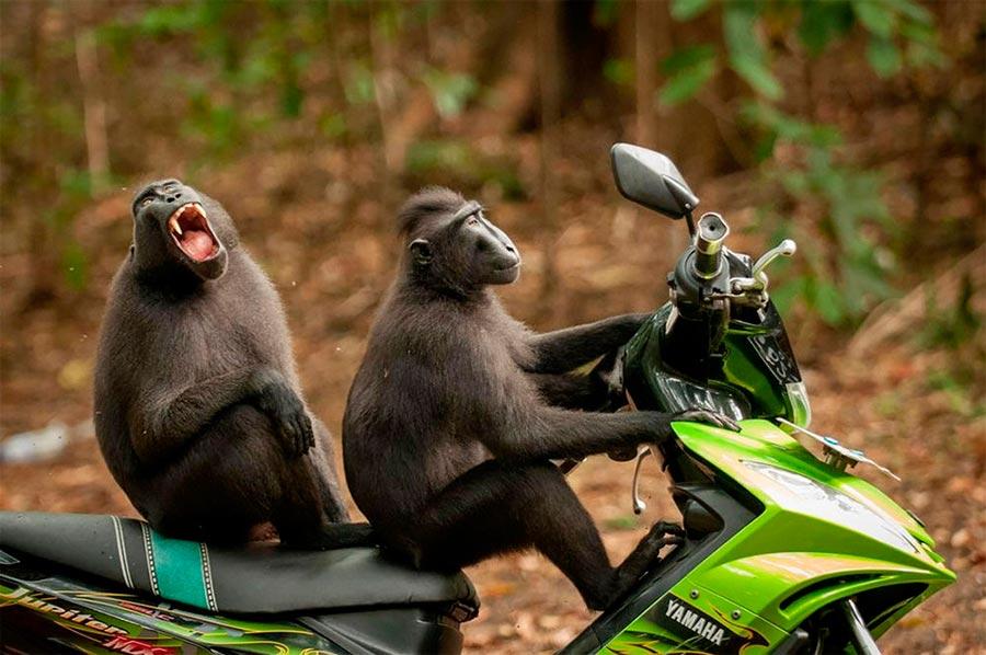 Comedy Wildlife Photography Awards 2017 Две обезьяны заповедник Тангкоко Батуангус Индонезия Йозеф Фридхубер