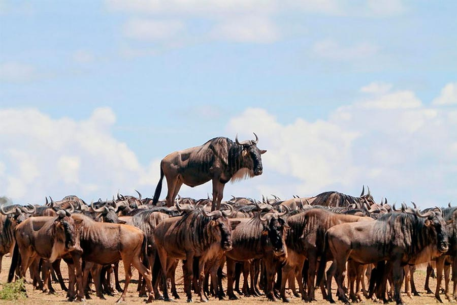 Comedy Wildlife Photography Awards 2017 Голубой гну Масаи-Мара Кения Жан Жак Алкалай