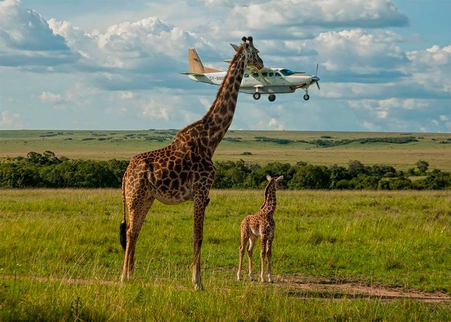 Comedy Wildlife Photography Awards 2017 Жирафы заповедник Масаи-Мара Кения Грэм Гай