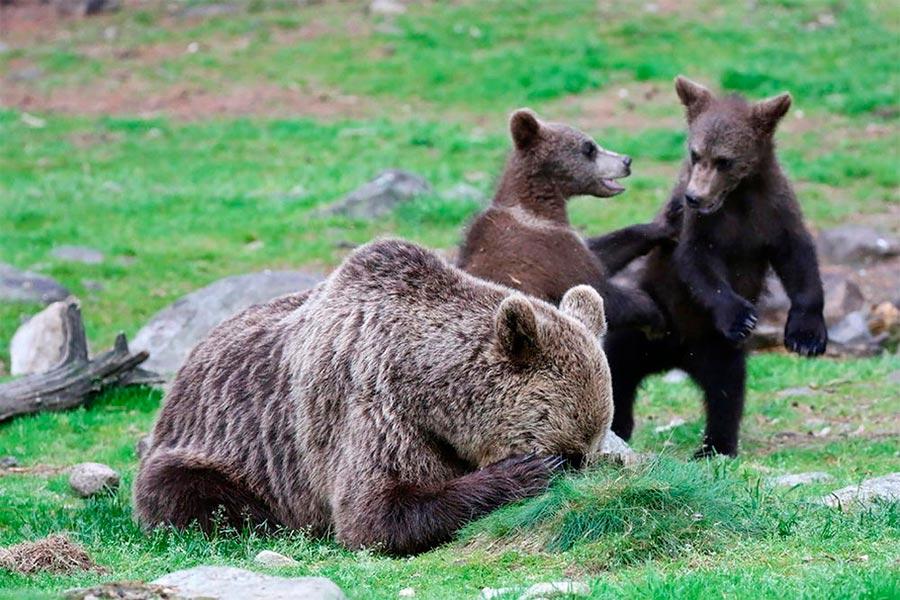 Comedy Wildlife Photography Awards 2017 медведица Мартинселконен Финляндия Мелисса Нолан