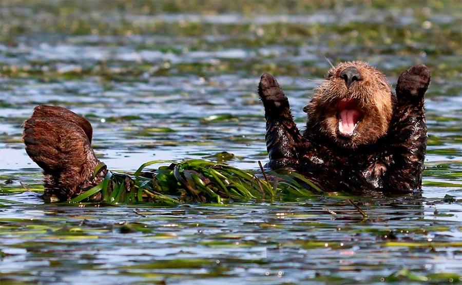 Comedy Wildlife Photography Awards 2017 морская выдра Элкхорн Слау Калифорния Пенни Палмер sea otter Elkhorn Slough CA Penny Palmer