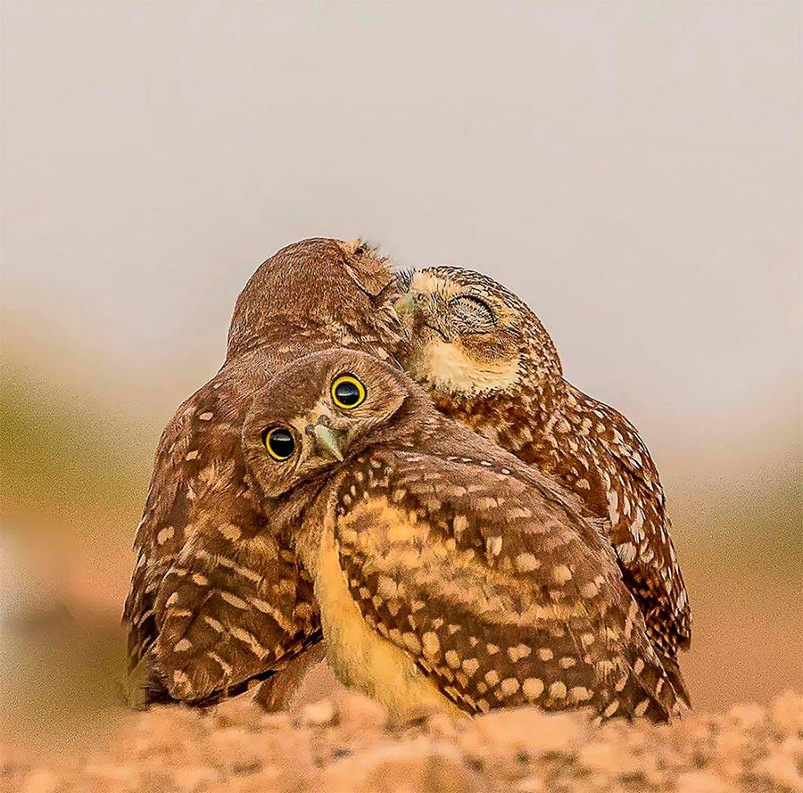 Comedy Wildlife Photography Awards 2017 сова Солтон-Си Калифорния Мелисса Усри owl Salton-Sea CA Malissa Ursy