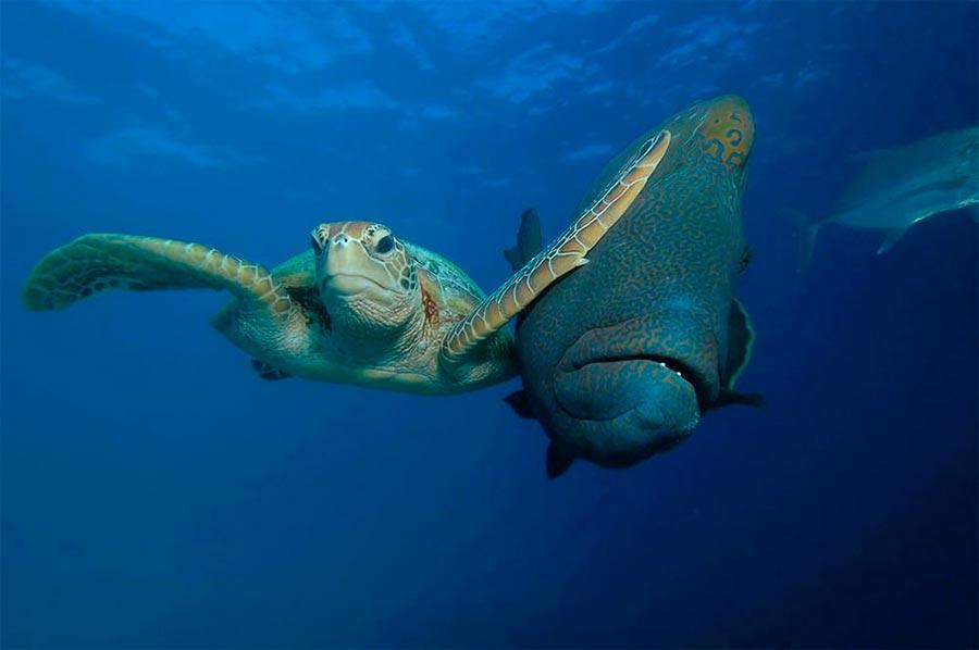 Comedy Wildlife Photography Awards 2017 зелёная черепаха и рыба-наполеон (губан маори) Трой Мэйн green turtle and napoleon-fish (wrasse maori) Troy Maine