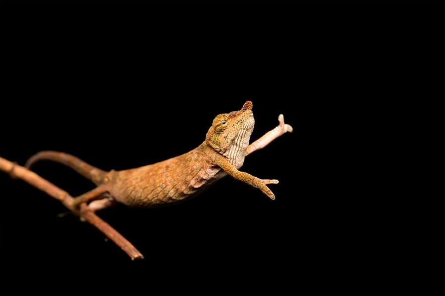 Comedy Wildlife Photography Awards 2017 носатый хамелеон Андасиб Мадагаскар Жасмин Винк nose chameleon Andasibe Madagascar Jasmine Wink