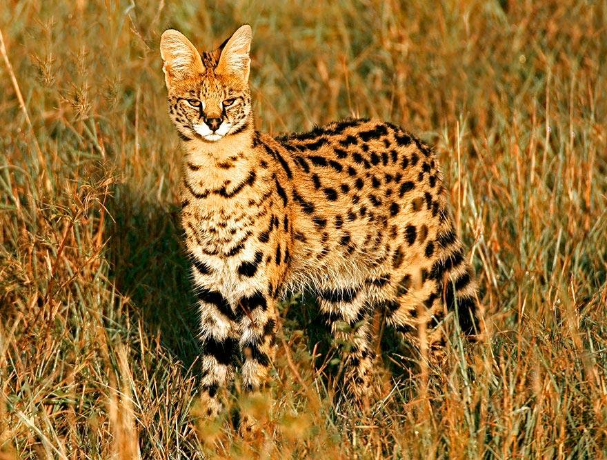 дикие кошки wild cats сервал serval