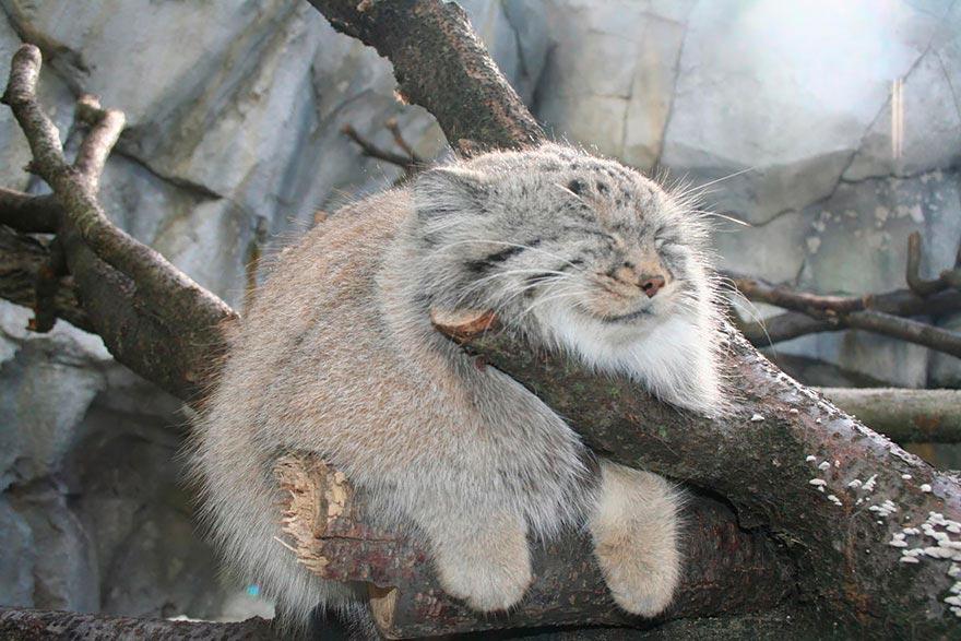 дикие кошки wild cats манул manul