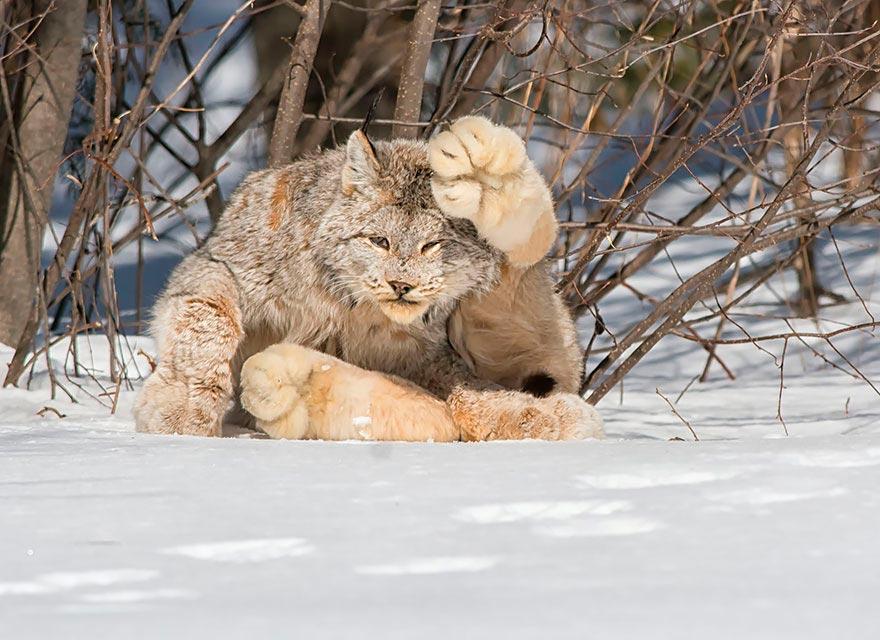 дикие кошки wild cats канадская рысь canadian lynx