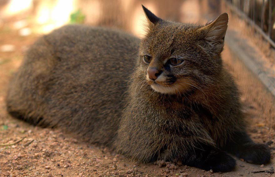 дикие кошки wild cats Leopardus pajeros