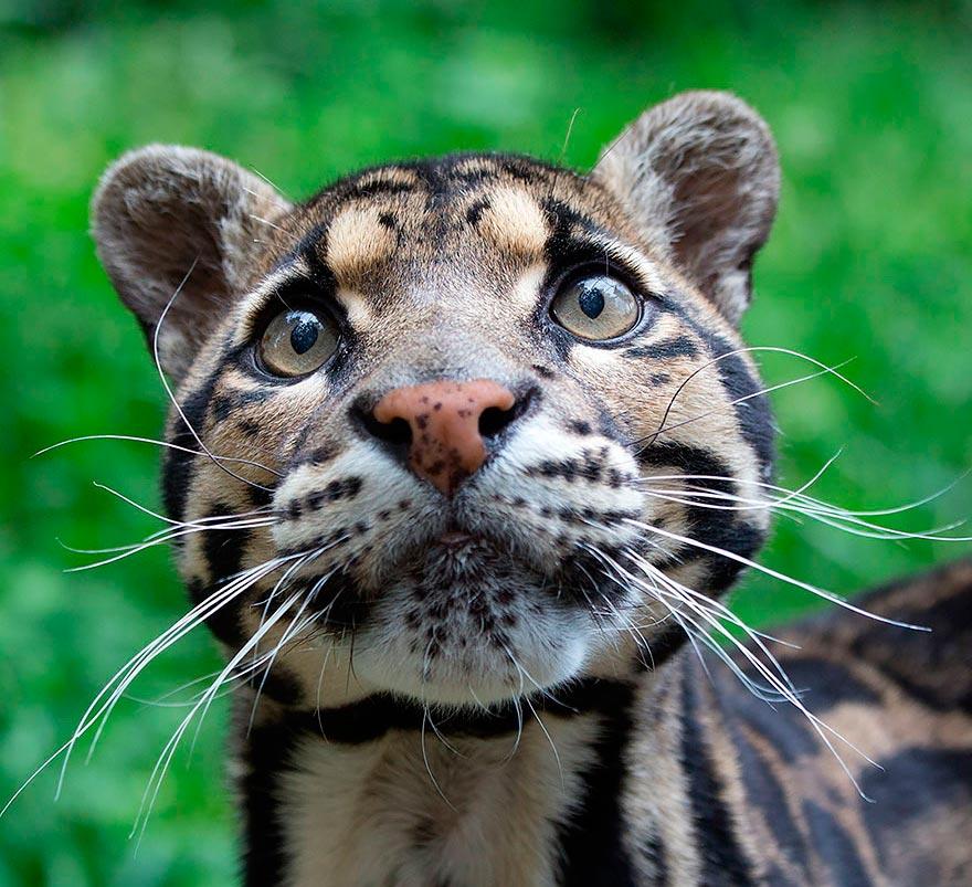 дикие кошки wild cats дымчатый леопард clouded leopard