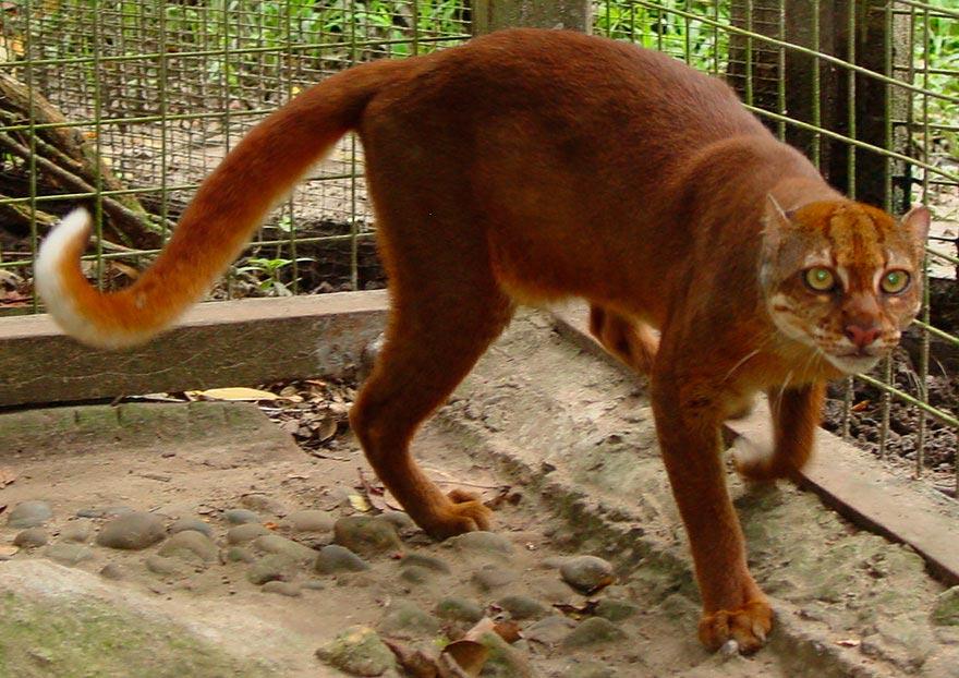 дикие кошки wild cats калимантанская кошка celimontana cat