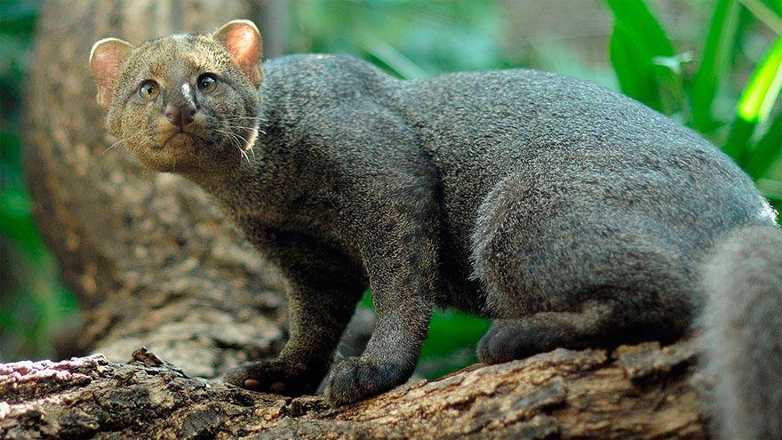 дикие кошки wild cats ягуарунди yaguarundi