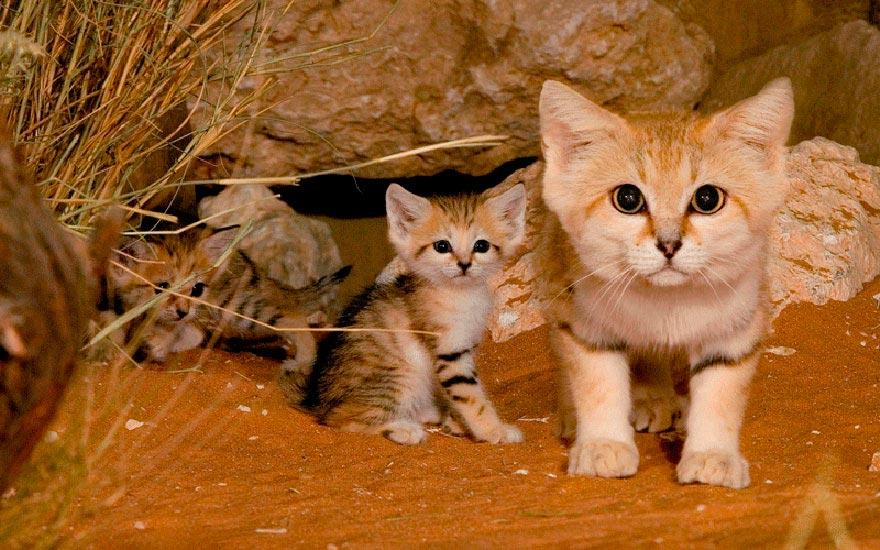 дикие кошки wild cats барханный кот sand cat