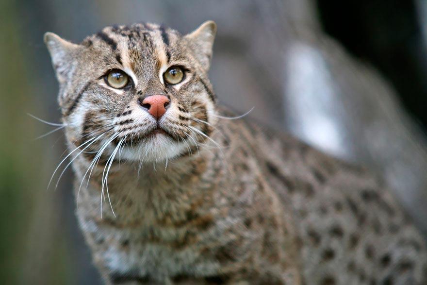 дикие кошки wild cats кошка-рыболов cat-fisherman
