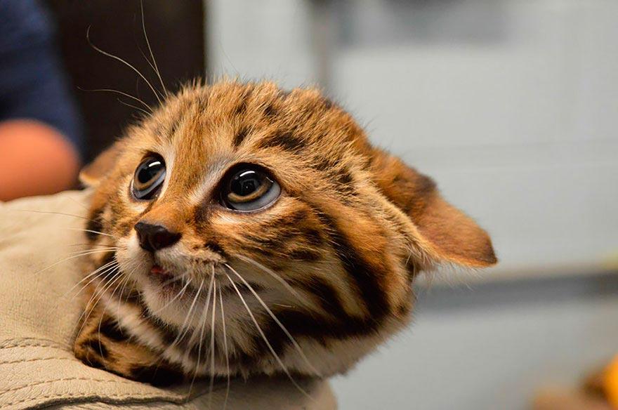 дикие кошки wild cats черноногая кошка black-footed cat