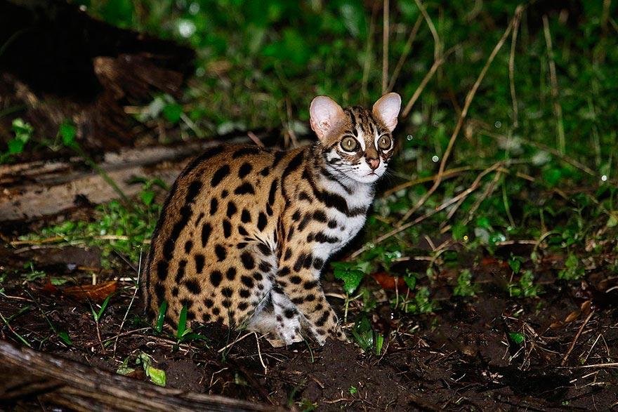 дикие кошки wild cats бенгальская кошка begal cat