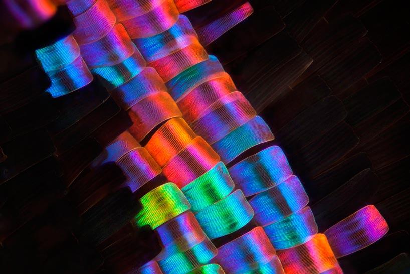 Линден Гледхилл Linden Gledhill фотографии крыльев бабочек под микроскопом photos of butterfly wings under microscope Урания мадагаскарская Chrysiridia rhipheus