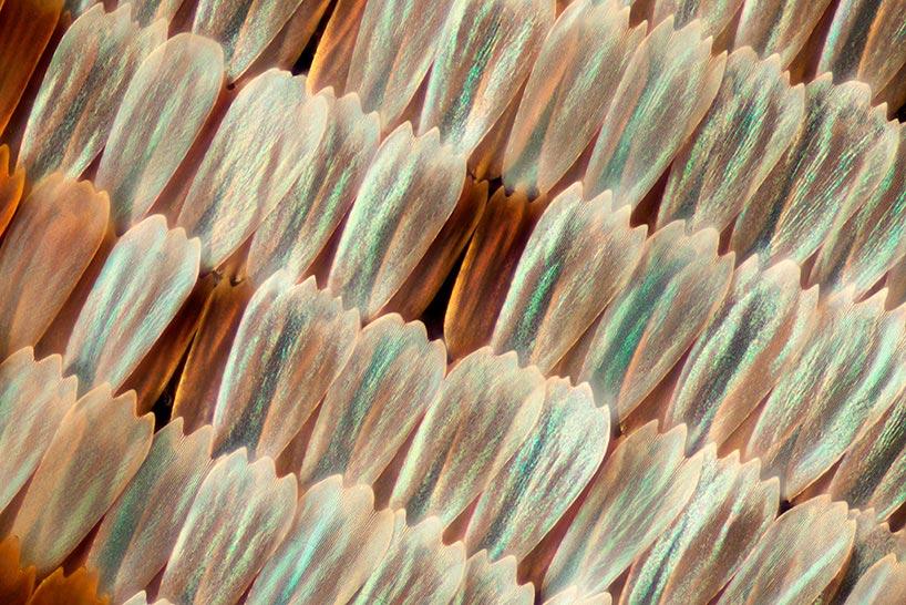 Линден Гледхилл Linden Gledhill фотографии крыльев бабочек под микроскопом photos of butterfly wings under microscope Морфо дидиус Morpho didius