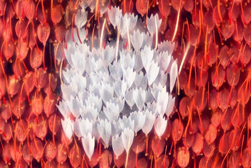 Линден Гледхилл Linden Gledhill фотографии крыльев бабочек под микроскопом photos of butterfly wings under microscope Citharias aurorina