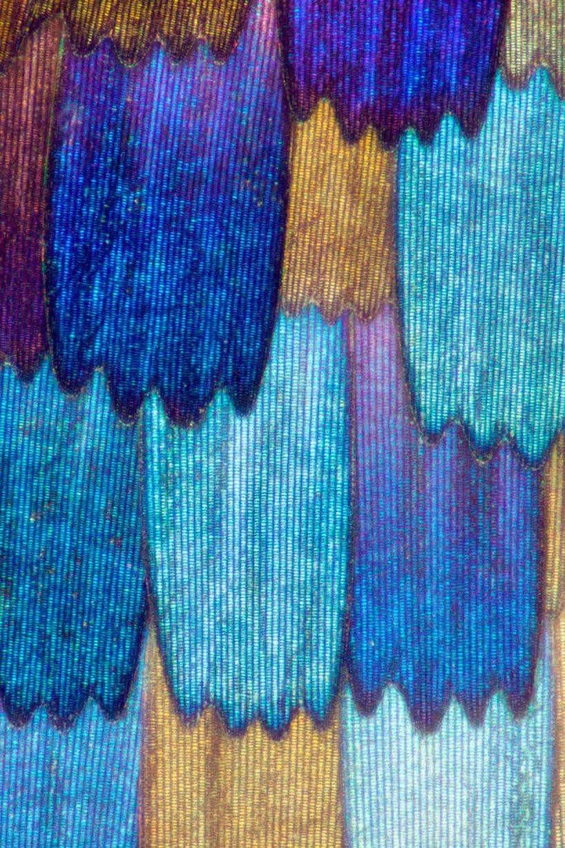 Линден Гледхилл Linden Gledhill фотографии крыльев бабочек под микроскопом photos of butterfly wings under microscope Precis rhadama