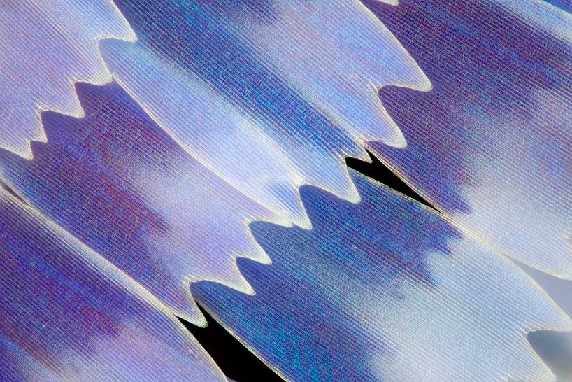Линден Гледхилл Linden Gledhill фотографии крыльев бабочек под микроскопом photos of butterfly wings under microscope Гиполимнас декситея Hpolimnas dexithea