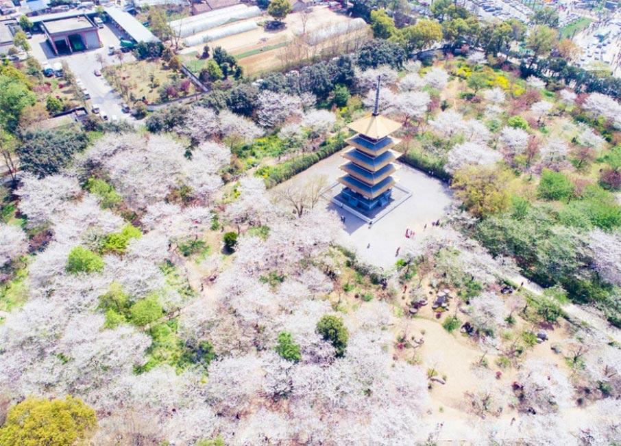 Китай цветение вишни