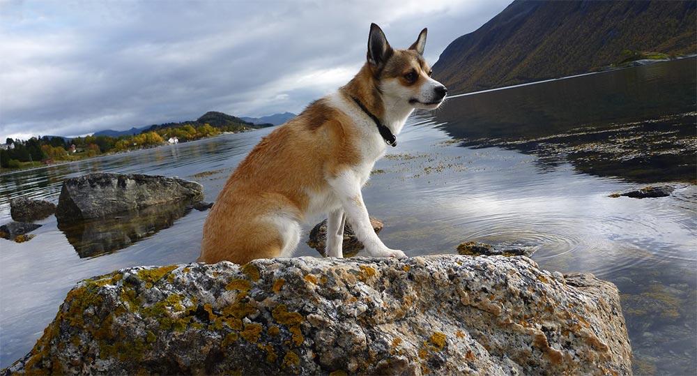 редкие породы собак Норвежский лундехунд