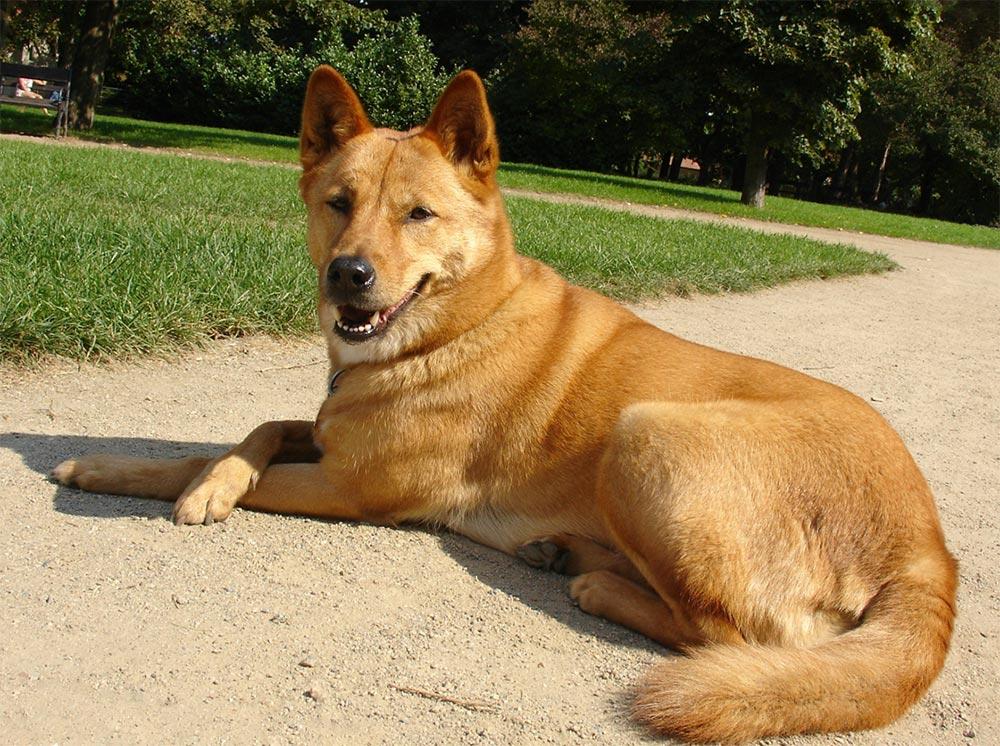 редкие породы собак Каролинская собака