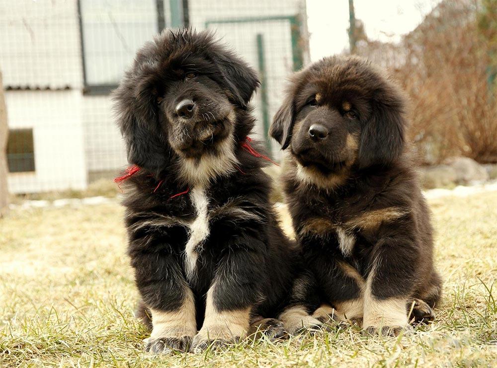 редкие породы собак Тибетский мастиф