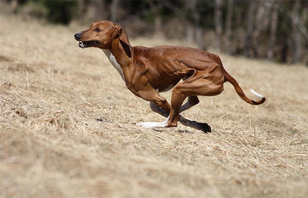 редкие породы собак Азавак