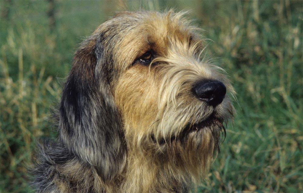 редкие породы собак Редкий Оттерхаунд