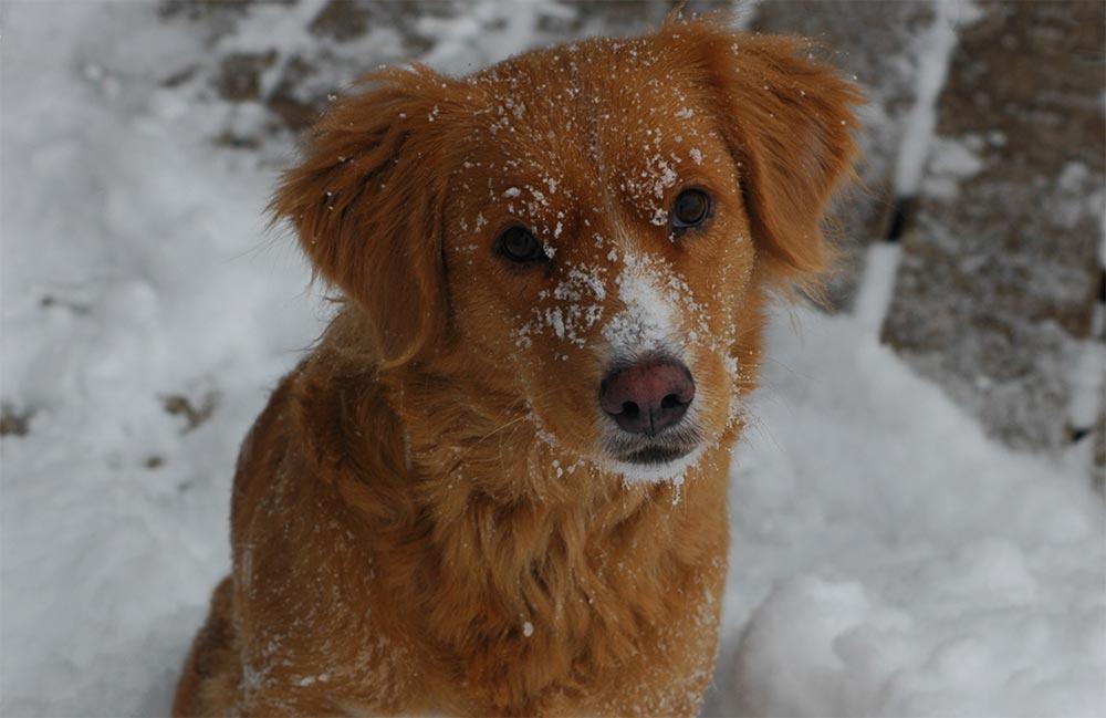 редкие породы собак Порода Чинук