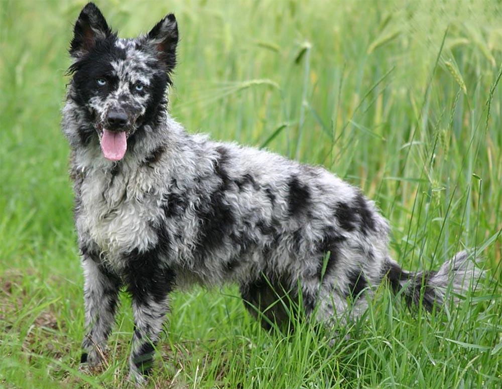 редкие породы собак Муди