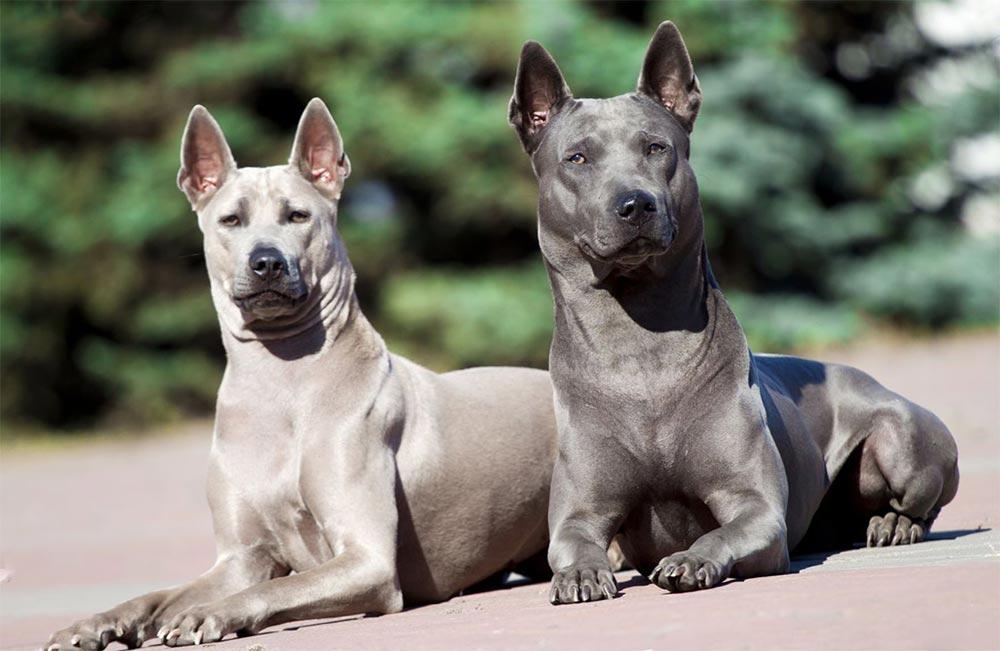 редкие породы собак Тайский риджбек