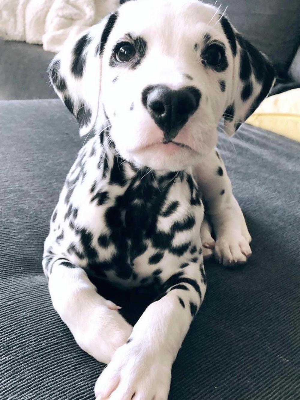 щенок далматин