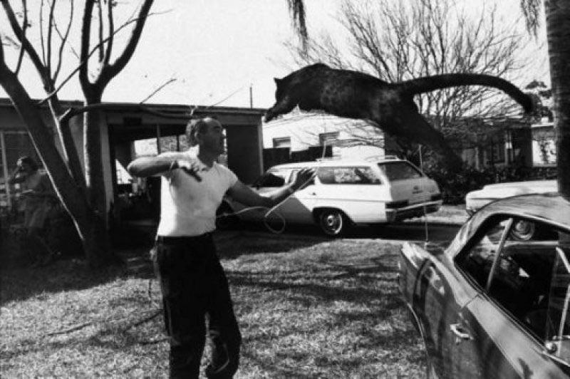 Экзотические питомцы Молодой черный леопард Флорида