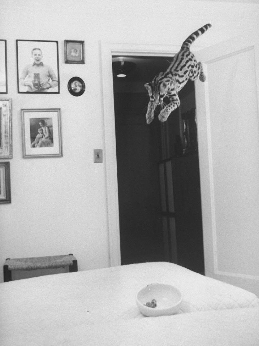 Экзотические питомцы Оцелот дикая южноамериканская кошка