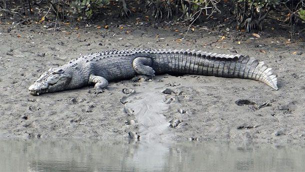 большое животное Гребнистый крокодил