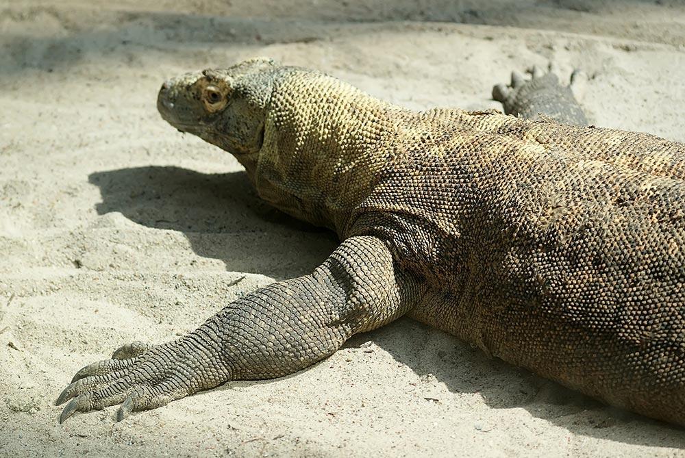большое животное Комодский варан